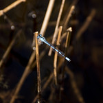 A bluetail damselfly, Boundary Bog, Prince Albert National Park thumbnail