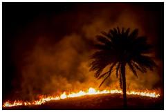 Silhouette (Aiel) Tags: bangalore bengaluru gottigere bannerghatta bannerghattaroad kalenaagrahara canon60d tamron70300vc fire blaze silhouette coconuttree tree