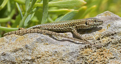 Wall Lizard (KHR Images) Tags: walllizard wall lizard wild reptile basking sunshine winspit quarry dorset nature wildlife nikon d500 kevinrobson khrimages
