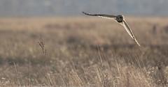 Short Eared Owl (Cal Killikelly) Tags: shortearedowl neston marshlands rspb nature reserve wildlife winter wetlands hunter golden light sundown