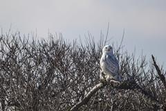 _S4I8580 (Samuel Maglione) Tags: buboscandiacusnj islandbeachstatepark snowyowl
