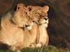 Awareness . (pitkin9) Tags: animals lionesses pantheraleo aware surroundings territory goldensunset sunshine sunlit yorkshirewildlifepark england
