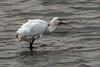 spoonbill (Explore) (DODO 1959) Tags: wildlife wales nature animal avian outdoor birds fauna spoonbill water carmarthenshire llanelli wwt olympus omdem1mk2 300mmf4 micro43