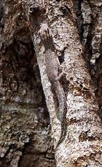 Any day (LeftCoastKenny) Tags: madagascar day11 zombitsevohibasianationalpark tree gecko