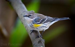 Yellow-rumped Warbler - Backyard