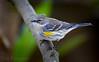 Yellow-rumped Warbler - Backyard (Dan Pancamo) Tags: 2017 backyard bird birds canon14xiii canon500mmf4isii canon7dmarkii december nature texas yellowrumpedwarbler houston unitedstates us