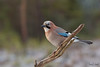 Eurasian Jay Relaxing (sdhweb) Tags: eurasianjay scenery birds bird branches snow snowy outdoors photography posing woods winter december canon telephoto norway beacon prey eating meal wildlife nature