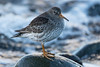 Purple Sandpiper on a Rock (queeny63) Tags: elements