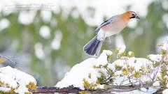 _IGP5727 (Pokedex!~by Photo team H&A~) Tags: japan hokkaido sapporo 北海道 札幌 野鳥 野生動物 bird wildbird animal wildanimal ミヤマカケス カケス eurasian jay garrulus glandarius brandtii