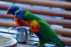coffee time (Val in Sydney) Tags: bird oiseau perroquet parrot rainbow nsw sydney australia australie lorikeet