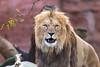 The Staredown (The Wasp Factory) Tags: barbarylion barbary lion berberlöwe pantheraleoleo hanoverzoo hanover zoo erlebniszoohannover erlebniszoo hannover staredown portrait porträt