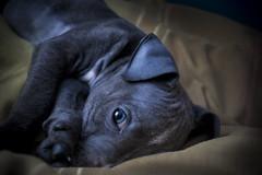 Skye (Alasdaircrawford) Tags: staffordshire bull dog puppy doggo pupper bitch blue rare cute sleep sleeping terrier staffy staffie bulldog young pet canine