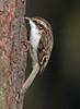 Treecreeper (KHR Images) Tags: treecreeper certhiafamiliaris treecreepers certhiidae wild bird feeding dumfriesandgalloway scotland scottish wildlife nature nikon d500 kevinrobson khrimages