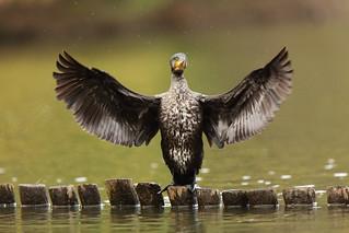Dancing on water  ---Cormorant---