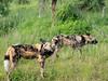 African wild dog (Lycaon pictus) Afrikanischer Wildhund (jaffles) Tags: southafrica südafrika krügernationalpark kruger np wildlife natur nature beautiful olympus safari
