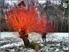 Weiden (almresi1) Tags: winter snow schnee baum tree weiden colour red rot buoch remstal nature landscape landschaft wald wood forest germany