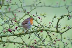 Robin (Erithacus rubecula) (jhureley1977) Tags: birds birding hemelhempstead hemelbirding birdsofbritain britishbirds ashjhureley avibase naturesvoice bbcspringwatch rspbbirders boxmoortrust boxmoor ashutoshjhureley robin erithacusrubecula