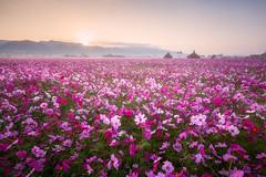 花海日出 (Cheng Yang, Chen) Tags: 日出 cosmosbipinnatus cosmos taiwan sunrise luminositymasks 彰化 波斯菊 mist 田中