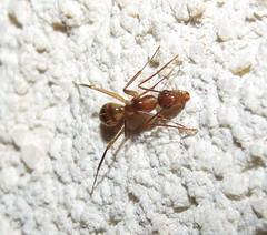 Formiga (Ant) (Hélio Paranaíba Filho) Tags: formiga ant endopterygota hymenoptera apocrita vespoidea formicidae eusocialidade eusociais macro insect inseto insects insetos bugs bug natureza nature