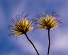 In the Winter Garden (LadyBMerritt) Tags: seeds seedhead clematis garden winter