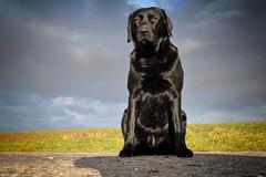 i am Bichou (uwe.kast) Tags: labrador labradorretriever labradorredriver hund haustier dog bichou himmel air black tier canon canon750d objektiv efs1855mm f3556 is stm