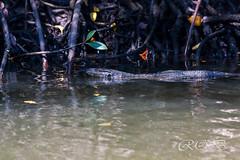 Malaysia-14599.jpg (CitizenOfSeoul) Tags: malaysia pulaulangkawi wildlife see langkawi andamanensee outdoor wildlebendetiere animal waran echse