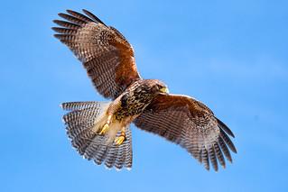 Hawk Hunting by Reinhardt Sahmel