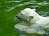 Polar Bear Taking a Dip (Colorado Sands) Tags: bear animal polarbear munich germany europe munichzoo sandraleidholdt usa water munichzoohellabrunn tierpark tierparkhellabrunn giovanna eisbär bavaria