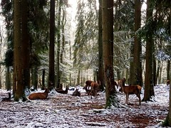 Deers in group (berreverresen) Tags: deer animal vacation vacationpicture forest snow tree group