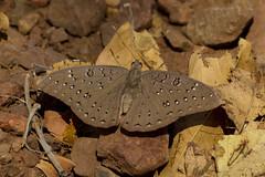 Guinea-fowl, Lekkerleef, Bela Bela, Sept 2017 (roelofvdb) Tags: butterfliesofsouthafrica guineafowl hamanumidadaedalus limenitinae but591 butterflies lekkerleef