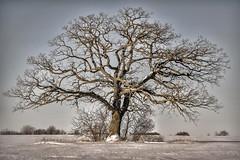 Stately bur oak (Quercus macrocarpa - Fagaceae) (Brian Kermath (e.h.designs)) Tags: tree field farmfield oaktree trees oak symmetrical symmetry quercusmacrocarpa fagaceae oshkosh wisconsin oshkoshwisconsin stately statelyoak buroak burroak snow winter dormanttree deciduous deciduoustree hdr