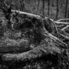 Mossy Deadwood (evans.photo) Tags: tree dead wood woodland wales ceredigion blackandwhite square textures shapes stump