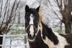 Whisper (Christelle Beernaert) Tags: snow neige cheval horse hiver winter