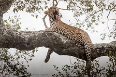 Leopardo (Panthera pardus) (Hernan Linetzky Mc-Manus) Tags: leopard africa manyeleti linetzky mammal wild natgeo honeyguide 5five savannah savana southafrica sudafrica animal safari ng camp limpopo big5 nikon nature bird animals wildlifephotography pilanesberg nikonphotography photos wildanimals africannature naturaleza salvaje mammals mamiferos jirafa giraffe