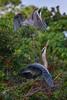 Great blue heron (Ardea herodias) couple build their nest at the Venice Audubon Rookery, Venice, Florida (diana_robinson) Tags: greatblueheron ardeaherodias heroncouple buildingnest veniceaudubonrookery venice florida