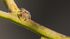 Araña Saltarina (..Javier Parigini) Tags: nikon nikkor javierpariginifotografia flickr argentina rosario 105mm f28 micro macro closeup araña spider saltarina salticidae verde green insecto d800