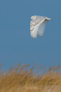 Snowy Owls of New Jersey   2017 - 17