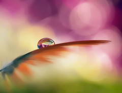 On a wing and a prayer (miss gecko) Tags: wing feather prayer hope hopes bokeh waterdrop reflection macro concept