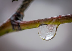 8108 (1 of 1) (sallyjane6) Tags: snow snowyday newlife buds winter bedford holly macro closeup