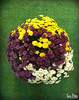 the ball (Sam Petar) Tags: iraq baghdad flower rose natural green mobile huawei