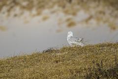 _S4I8535 (Samuel Maglione) Tags: buboscandiacusnj islandbeachstatepark snowyowl