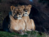 Very observant. (pitkin9) Tags: animals lionesses pantheraleo observing territory together