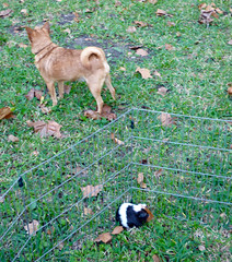 Chuck and Poppi (M.P.N.texan) Tags: chuck dog minpin guineapig popcorn pet pets animl animals outside