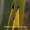 Phormium tenax-6 (SUBENUIX) Tags: phormiumtenax suculentas xanthorrhoeaceae subenuix subenuixcom planta suculent suculenta botanic botanical