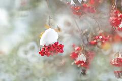 Season's Decoration (lfeng1014) Tags: seasonsdecoration berries redberries rowanberries snow macro macrophotography canon5dmarkiii 70200mmf28lisii closeup bokeh dof depthoffield lifeng