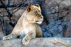 Lioness 5821 (J H Newton Images) Tags: lion wildlife nikon d850 lioness