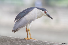 Black crowned night heron (cattan2011) Tags: 香港 hongkong traveltuesday travelbloggers travelphotography travel bokehs wildlifewednesday wildlifeplanet wildlifephotography wildlife naturelovers natureperfection naturephotography nature landscapephotography landscapeportrait landscape birds herons blackcrownednightherons