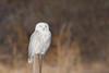 Snowy Owl (adbecks) Tags: snowyowl wildlife nj wildlifenj d500 200500 nikon jerseyshore