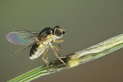 Diptera, Chloropidae, Thaumatomyia notata (dorolpi) Tags: