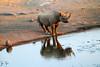 Black Rhino in Etosha, Namibia (SteakTaylor) Tags: rhinoceros namibia etosha blackrhino rhino